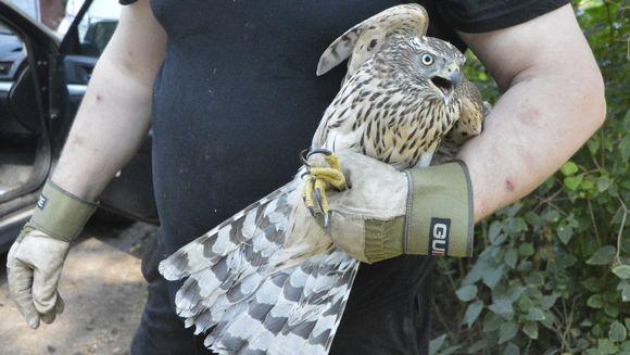 Loukkaantunut nuori kanahaukka Harri Ekholmin kädessä.