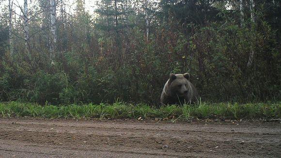 Video: karhu