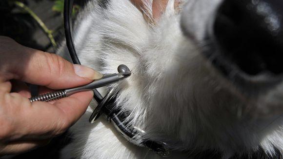 Punkkia otetaan pois koiran turkista punkkipihdeillä.
