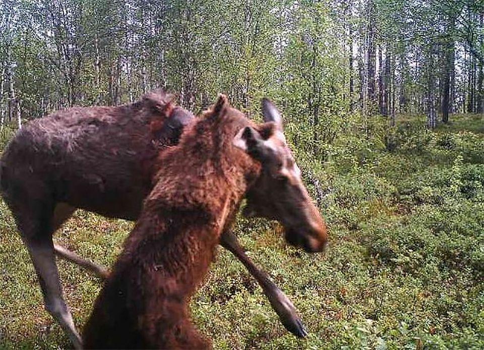 https://img.yle.fi/uutiset/luonto/article10888297.ece/ALTERNATES/w960/karhu%20hirvi%20riistakamera