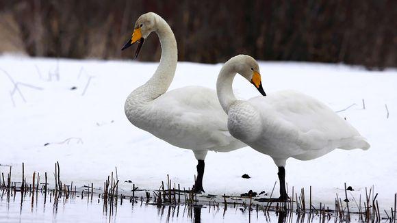 Kaksi laulujoutsenta lumisella rannalla.