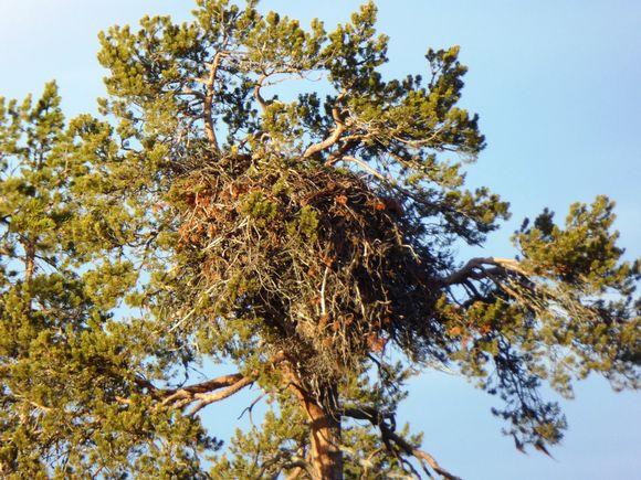 Maakotkan pesä puussa
