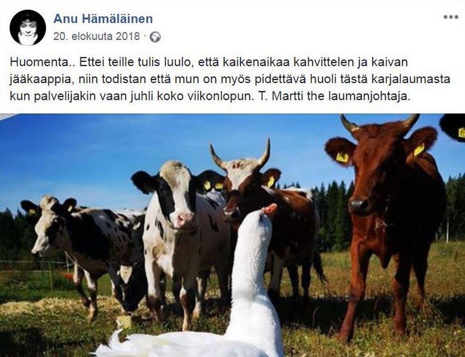 Kuvakaappaus Face-book sivuilta. Anu Hämäläisen päivityksessä Martti katsoo aitauksessa olevia lehmiä. Hämäläinen kertoo tekstissä, että Martti pitää huolta karjalaumasta hänen