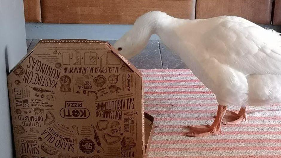 Martti-hanhi tutkii pizzalaatikkoa.