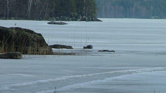 Lämmin kevätsää kutsuu norpat jään pinnalle. Norppaemo imettää kuuttia keväällä 2003.