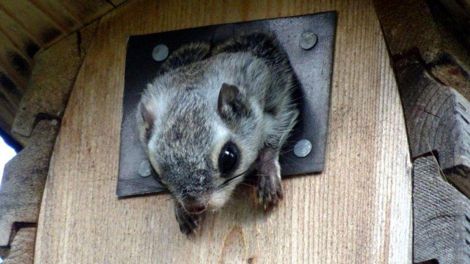 Liito-orava yritti ulos useita kertoja.
