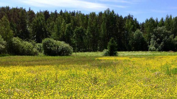 Keltainen luonnonkukkaniitty kesäkuussa.