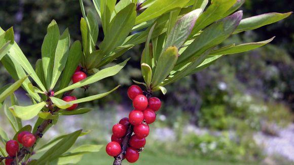 February daphne, spurge laurel or spurge olive