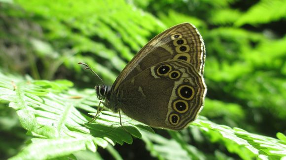 File photo of woodland brown butterfly.
