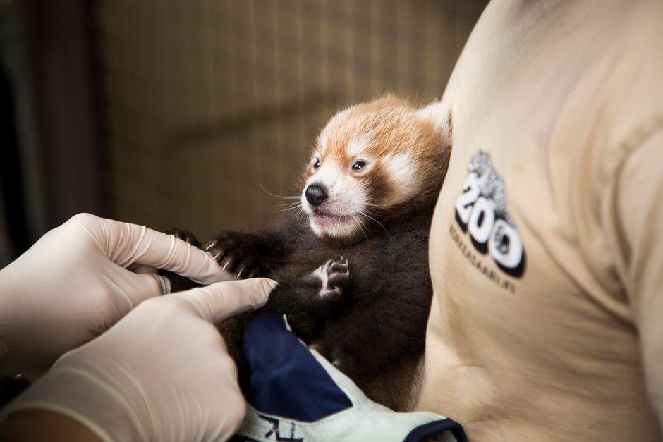У редких красных панд появился на свет детеныш