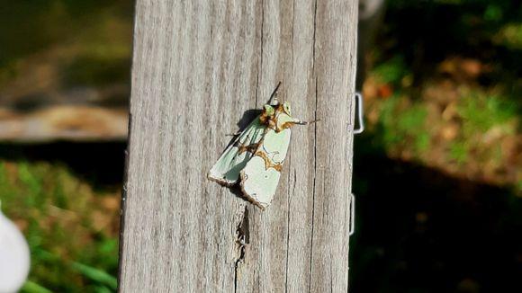Grönt rotfly