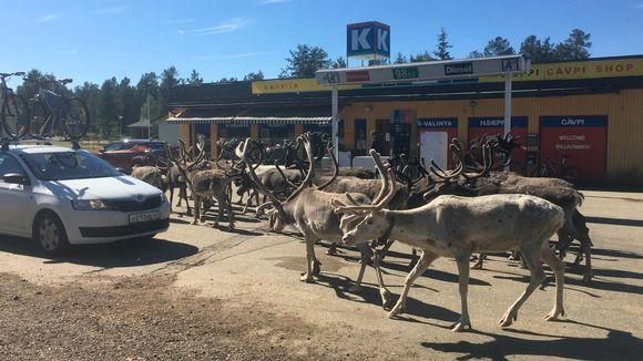Kuvahaun tulos haulle Оленья банда терроризирует магазин в Лапландии