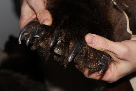 karhun käpälä