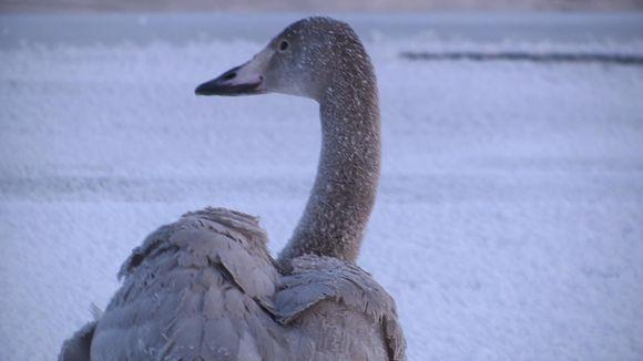 Video: Nuori laulujoutsen talvella, tammikuu 2019, Muonio Kutuniva.