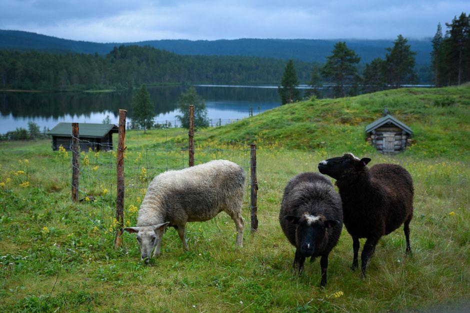 Lampaat niityllä