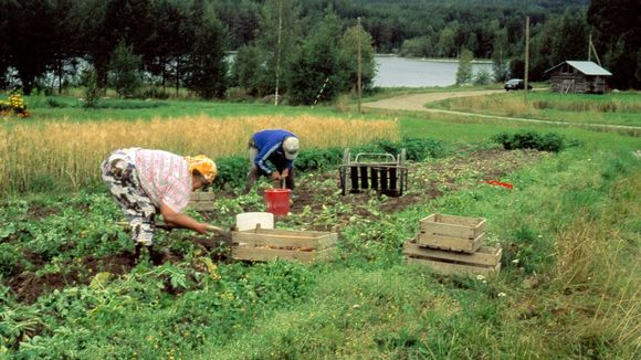 Mies ja nainen nostaa perunaa perunamaalla.