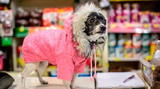 Koira vaaleanpunaisessa hupputakissa.