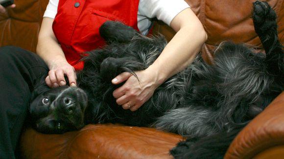 Koira makaa selällään nahkasohvalla. Omistaja istuu vieressä ja rapsuttaa.