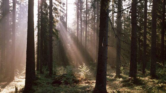 Metsä. Auringon valo siivilöityy oksien läpi.