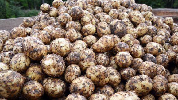 Varhaisperuna viedään pellolta pesuun ja kylmäsäilytykseen, josta peruna pakataan tilaajien tarpeisiin.