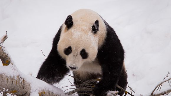 Pyry panda Ähtärissä