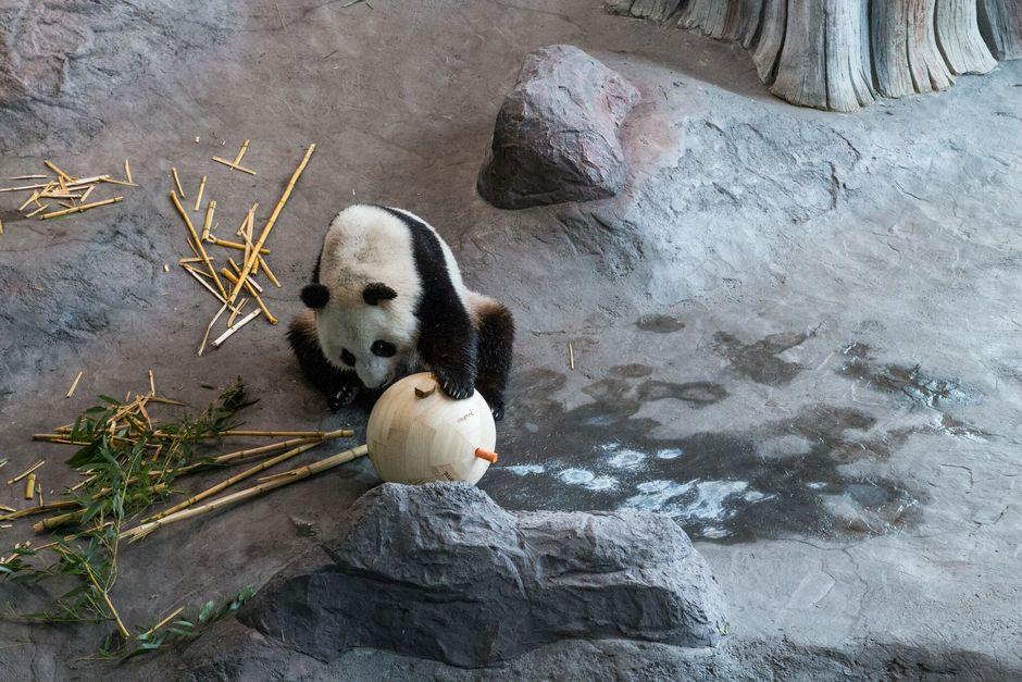Lumi tutkimassa pandapalloon porattuihin koloihin kätkettyjä leluja.