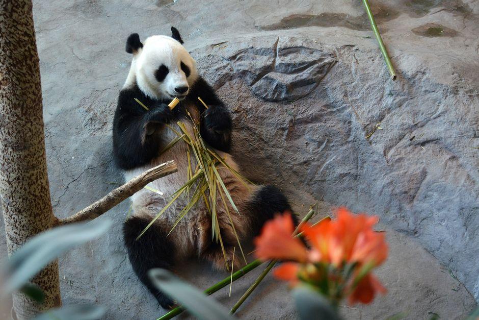 Видео: Pandat viihtyvät hellepäivinä viilennetyissä sisätiloissa.
