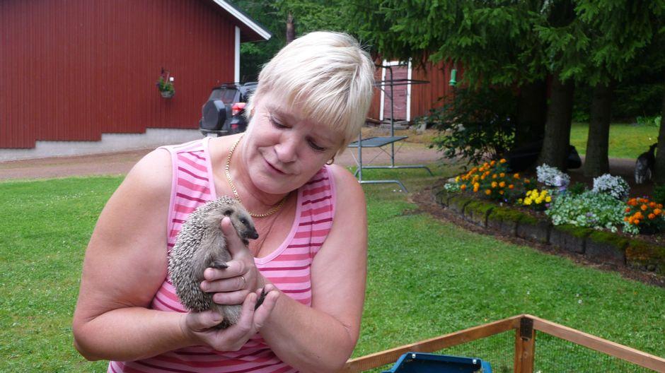 Приемные родители выкормили семерых оставшихся без матери ежиков | Yle Uutiset | yle.fi