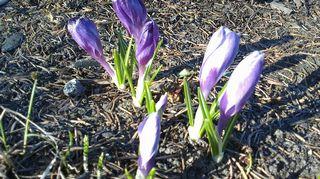 Kevään krokukset puskevat esiin kukkapenkistä.