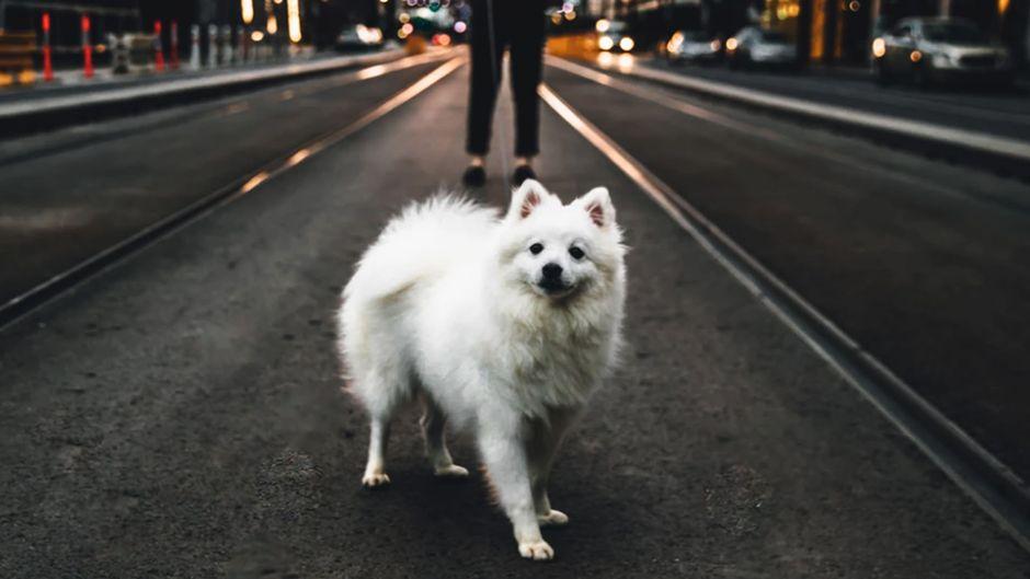 Valkoinen pieni koira, jota ulkoilutetaan kaupunkiympäristössä.