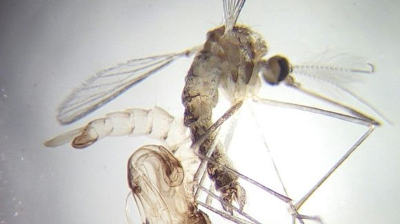 Aedes rossicus -hyttyslajin koiras kotelonahkoineen.