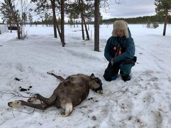 Muddusjärven paliskunnan nuoren poromiehen Sakke Kaitsalon poro nälkiintyi metsässä eikä enää elpynyt ruokinnalla. Inari 10.3.2010.