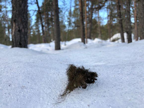 Luppojäkälää putoaa puista hangille tykyn ja kovien tuulten mukana.