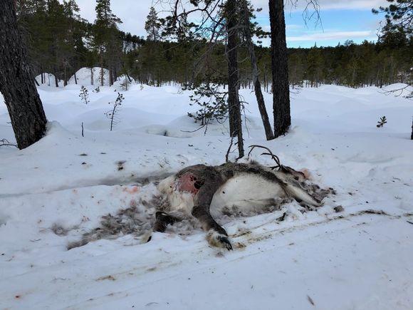 Nälkään kuollut poro Muddusjärven paliskunnasta. Korpit ja kuukkelit ovat aloittaneet pidot. Inari 10.3.2020
