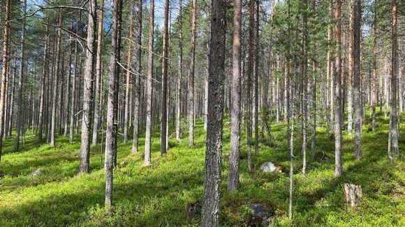 Hakattavaksi aiottua metsää Kemijärven Ämmänvaaran ulkoilu- ja retkeilyalueella.