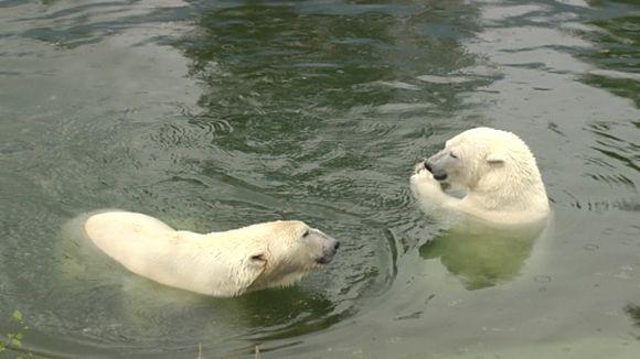 Ranuan eläinpuiston Jääkarhut.uroskarhu Manasse ja naaraskarhu Venus.
