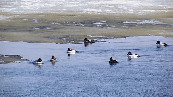 Vesislinnut viihtyvät Kemijoen sulassa Jätkänkynttilän sillan kupeessa.