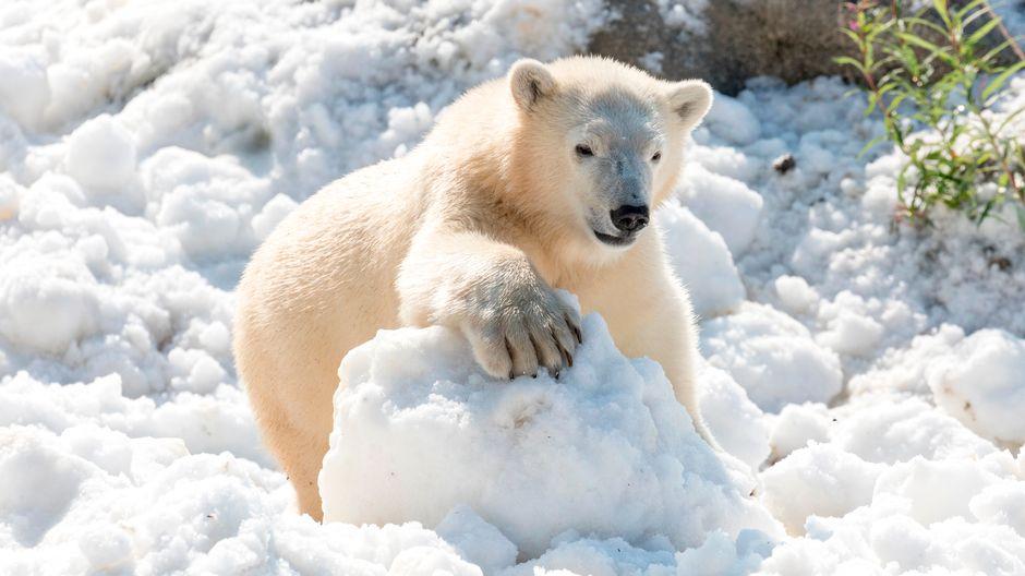 finnish zoo names polar bear cub sisu yle uutiset ylefi