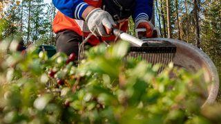 Thaimaalaiset marjanpoimijat työskentelivät Kärsämäellä syyskuussa 2020.