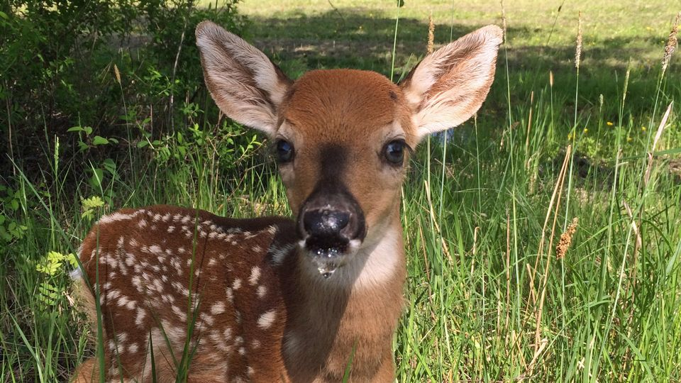 White Tailed Deer In Finland From 5 To 100000 In 80 Years Yle