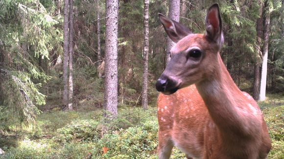 Lähikuva valkohäntäpeurasta metsässä.