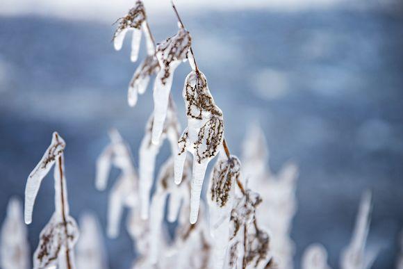 Jäätynyt kasvi Näsijärven rannalla