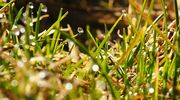 Vesipisaroita ruohonkorsien päissä