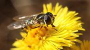 Kukkakärpänen leskenlehdessä