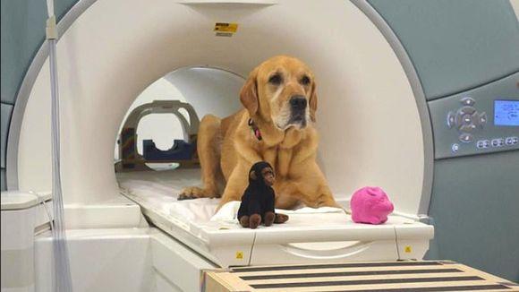 Koira, jossa on puolet kultaistanoutajaa ja puolet labradoria, makaa kerroskuvausputkessa. Edessä apina- ja possulelu.