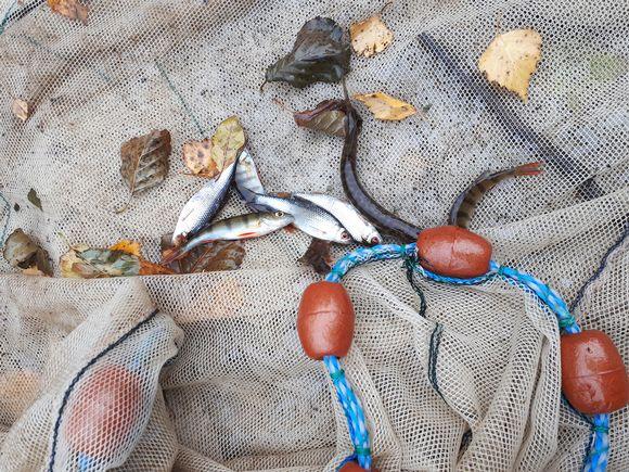 Kaloja nuotassa Kallavedellä