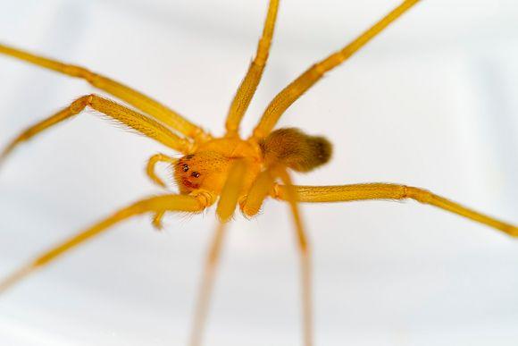 ruskohämähäkki