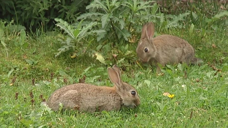 Hunt For City Bunnies Begins Yle Uutiset Yle