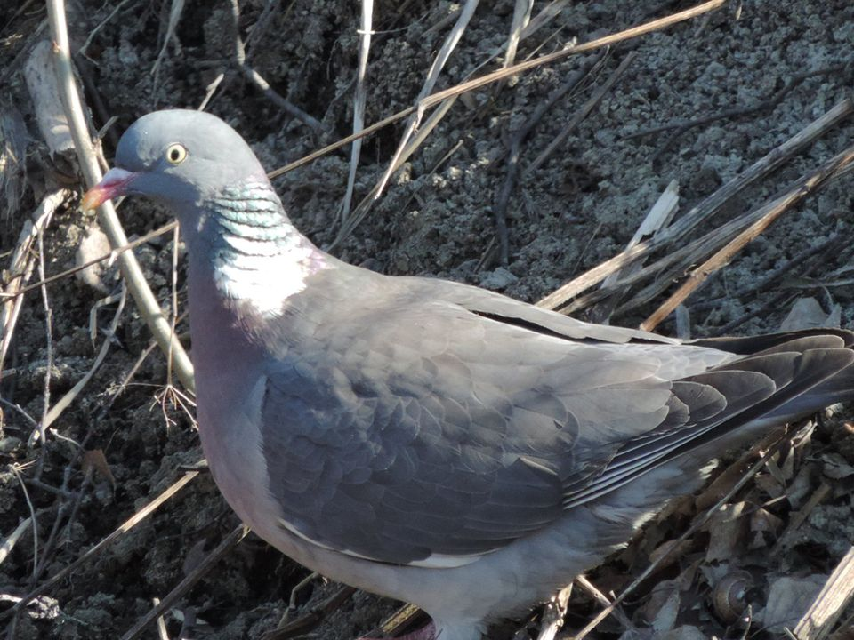 Open season: Wood pigeons first in the crosshairs | Yle Uutiset | yle fi