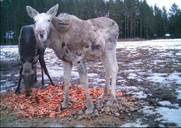 Kaksi hirveä, joista toinen valkoinen, syövät ruokintapaikalla porkkanoita.